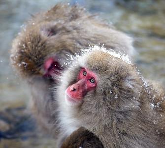 2014 Japan - Snow Monkeys
