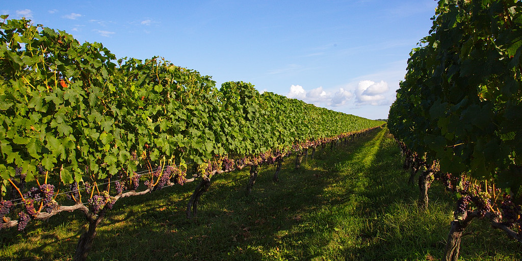 928a Rows and rows of vines have been trained along wire to produce a bilateral cordon, two permanent horizontal branches of the trunk from which grape clusters grow.