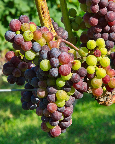 904 A grape cluster in all its multi-colored glory.