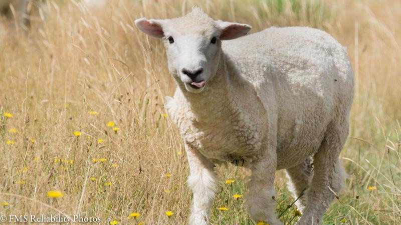 Sheep along the access road to Borland Nature Walk