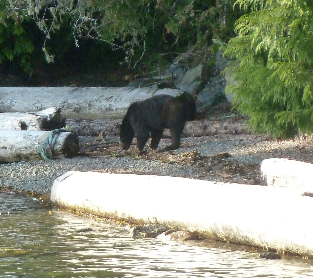 Our first encounter of a  wild black bear! Thankfully, we felt quite safe out on the water in our kayaks!!