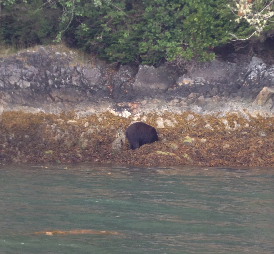 Another black bear forraging for food along the beach!