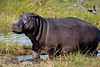 Scarred Hippo