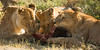 3 Lionesses, sharing a meal