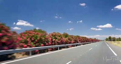 Oleander on highway