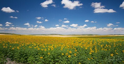 Sunflower plantations