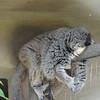 A sleepy sloth