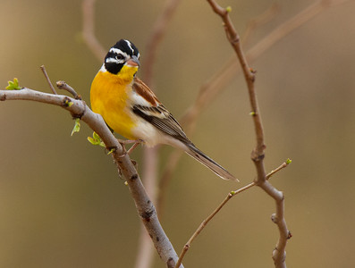 Golden-breasted Bunting (Tuli 2014)