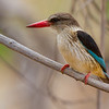 Brown-hooded Kingfisher (Tuli, Botswana 2014)