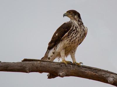 African Hawk Eagle (Kwa Tuli)
