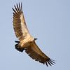 White-backed Vulture (Kwa Tuli)