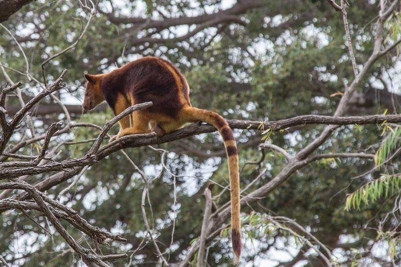 Tree Kangaroo, Taronga Zoo