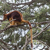 Tree Kangaroo, Taronga Zoo