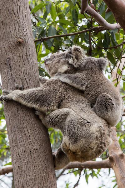 Koala mother and baby, Taronga Zoo