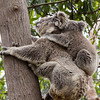 Koala mother and baby, Taronga Zoo