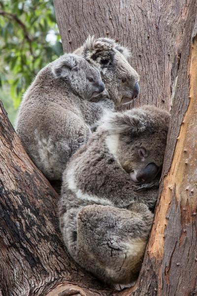 Koala family, Taronga Zoo