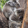 Koala family, Taronga Zoo