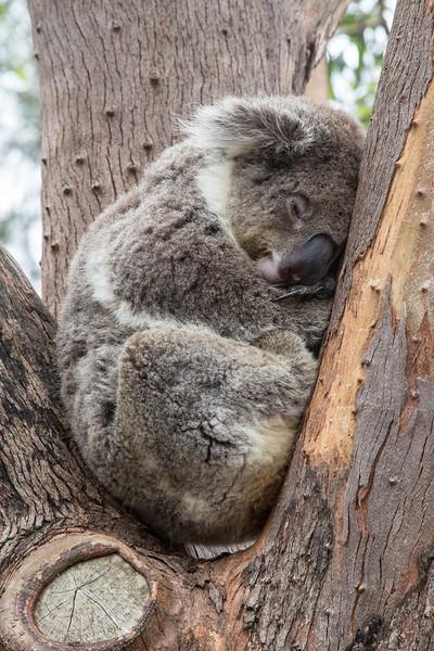 Koala, Taronga Zoo