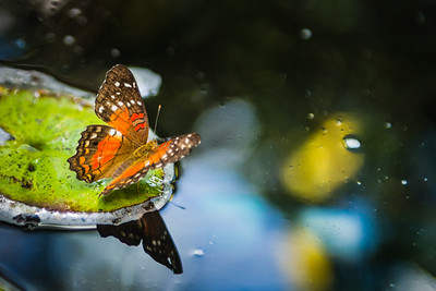 Butterfly on Lilly Pad