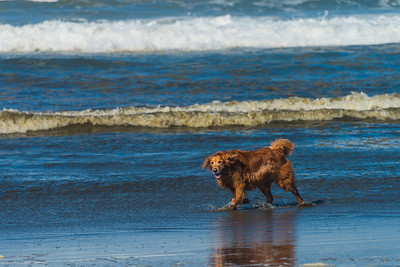 Golden Enjoying the Ocean