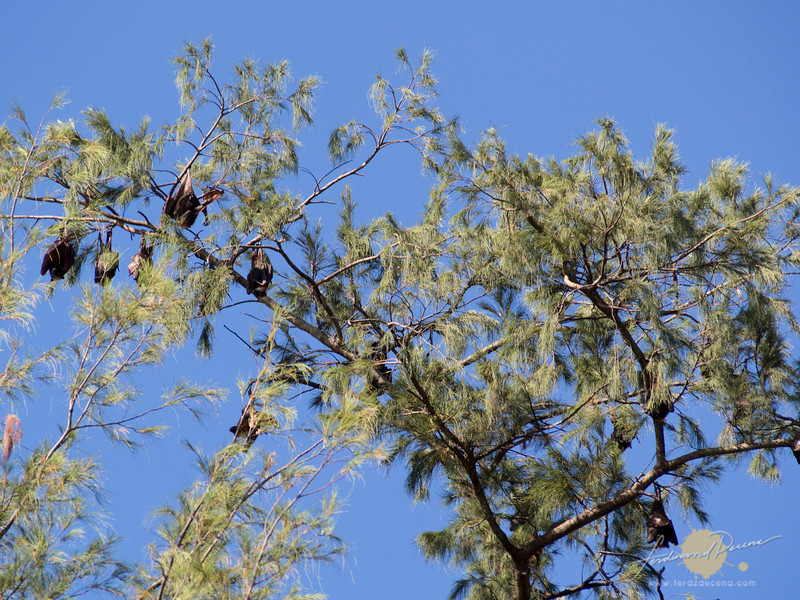 Plenty of fruit bats living in this smaller island
