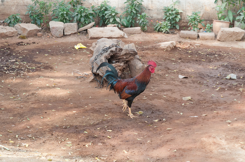 Village of Rajballaram - rooster.