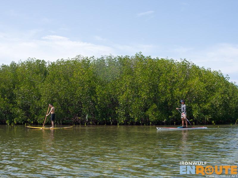 Up to 15-feet high bakauan mangroves