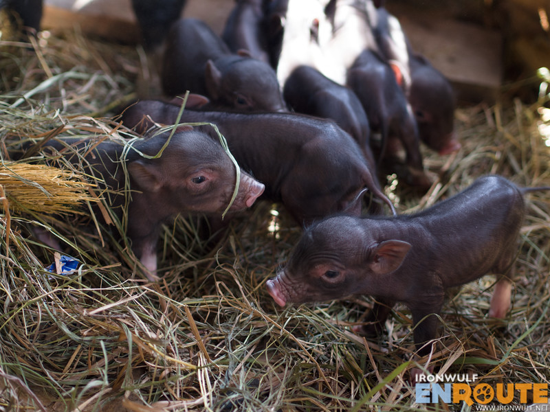Fang-Od's new born native piglets. So cute!