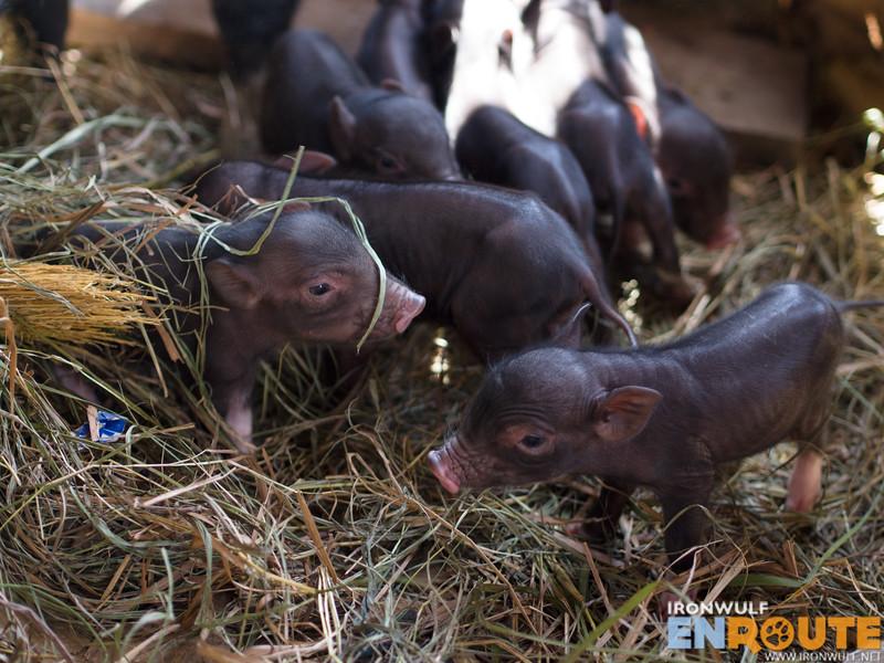 Fang-Od's new born native piglets. So cute!