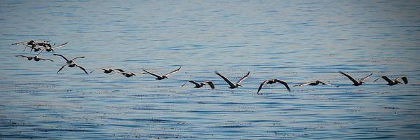 Flock of Pelicans in Flight