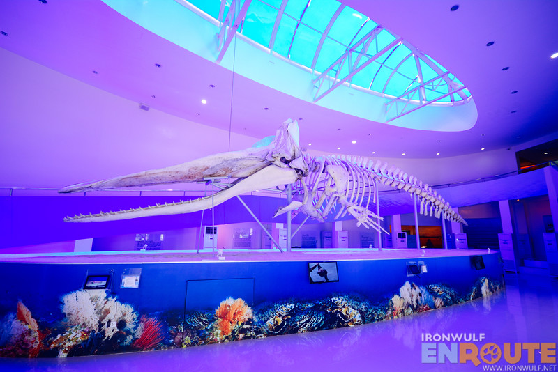 Davor the whale, the highlight exhibit of the museum
