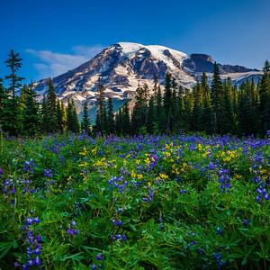 Lupine Meadow and Mt Rainier