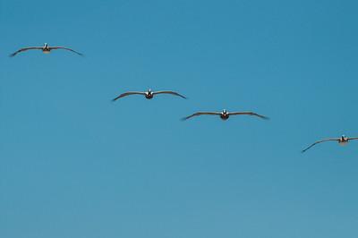 Pelican squadron.