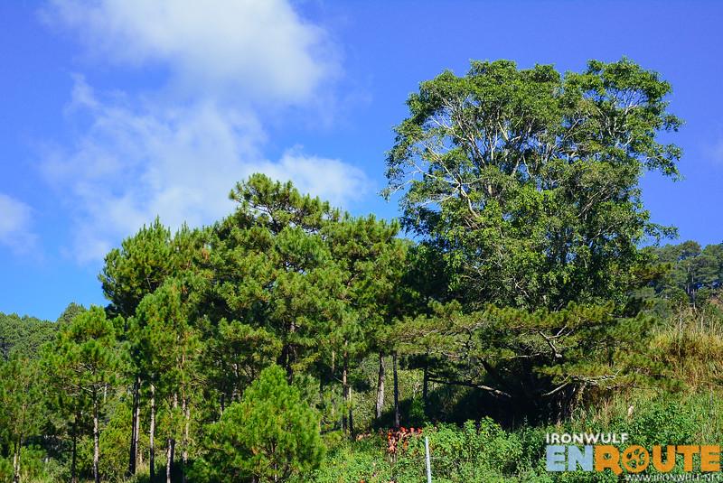 Men of Sagada would gather at this Sacred Tree in Demang