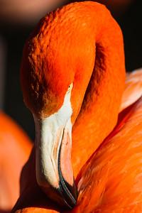 Flamingo Beak