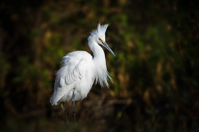 Beautiful Egret