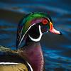 Wood Duck Portrait