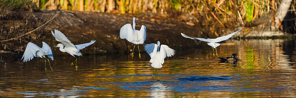 Flock of Snowy Egrets