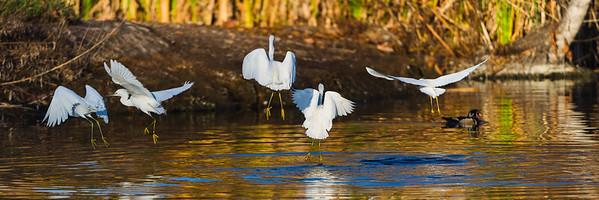 Flock of Snowy Egrets