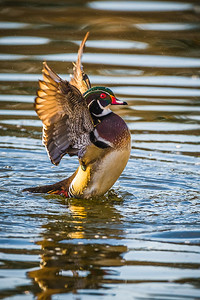 Wood Duck Flapping Wings