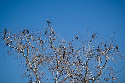 Cormorants in the Tree