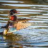 Wood Duck Drying Off