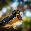 Wood Duck in a Tree