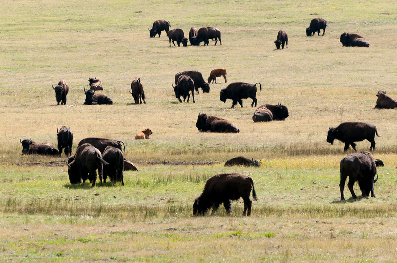 Buffalo, Grand Canyon North RIm