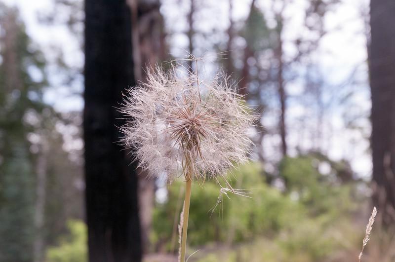 Super-size dandelion