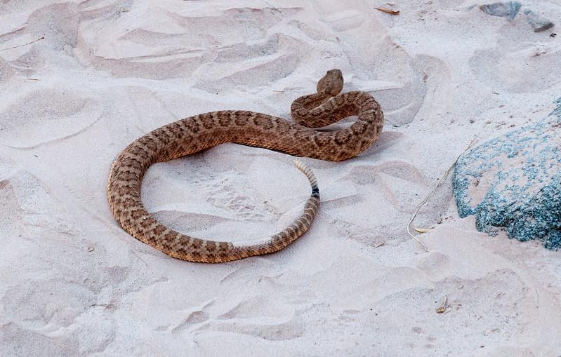 Rattlesnake, camp 4