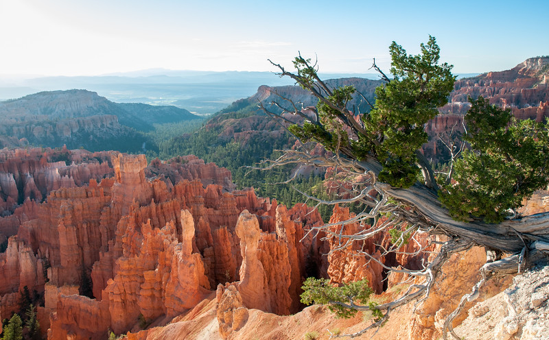 Clinging to the rim, Bryce Canyon