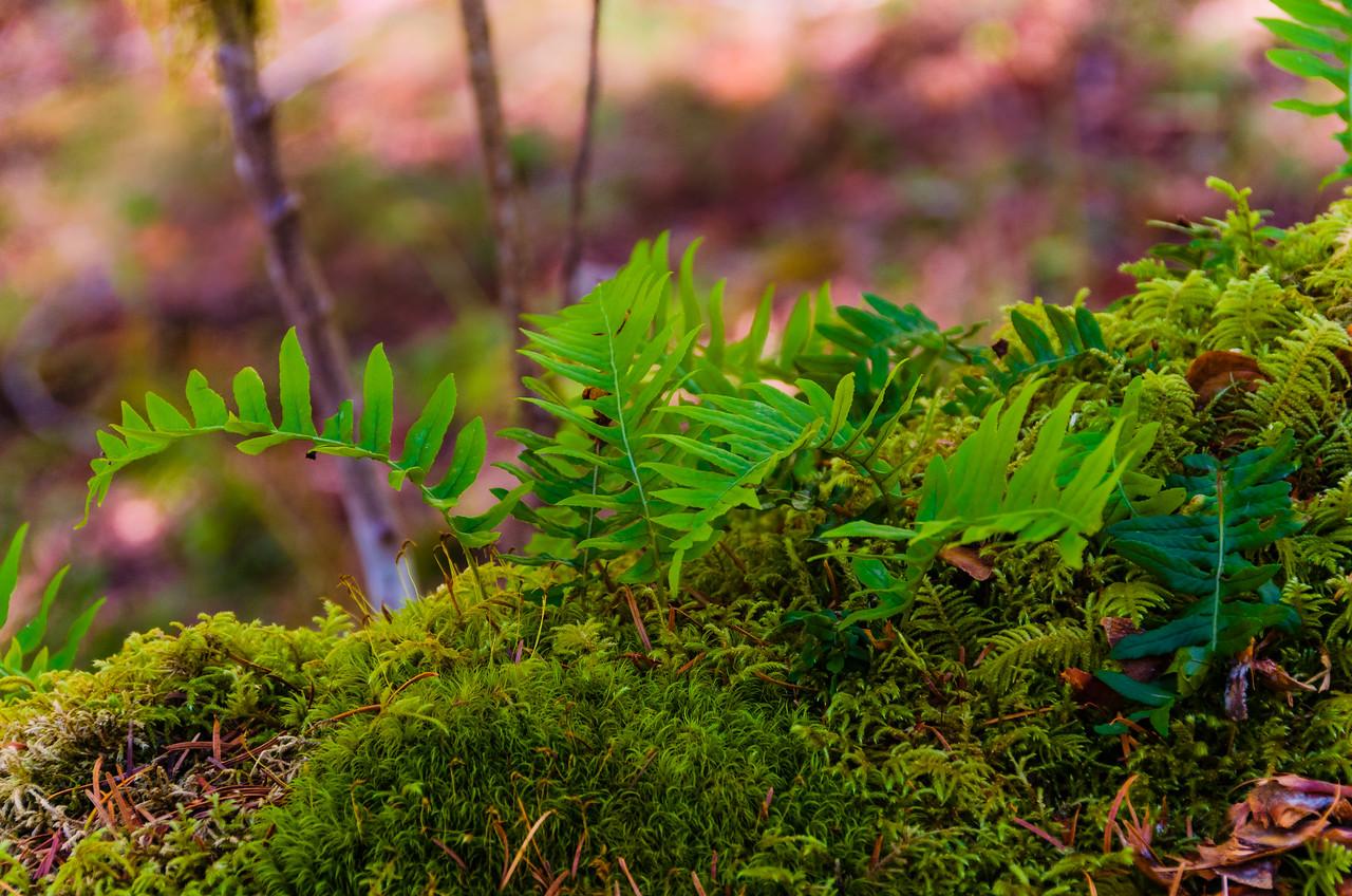Baby Ferns