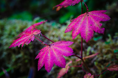 Vine Maple Color