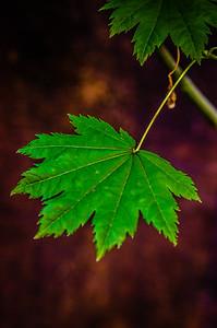 Simple Vine Maple